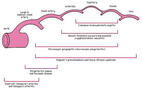 v-by-size-of-vasculature2